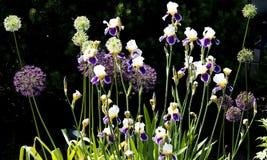Allium and iris in garden Stock Images