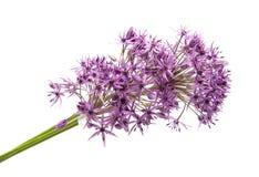 Allium isolato Fotografia Stock