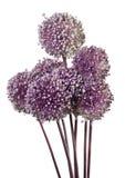 Allium isolato Fotografia Stock Libera da Diritti