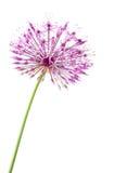 Allium isolato Fotografie Stock