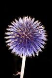Allium isolato sul nero Fotografie Stock