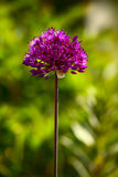 Allium kwiat Obraz Royalty Free