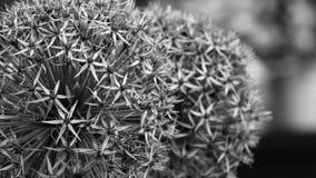 Allium kwiat Makro- w czarny i biały fotografia royalty free