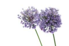 allium kwitnie purpury Obrazy Royalty Free