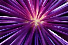 Allium la cipolla ornamentale Immagine Stock