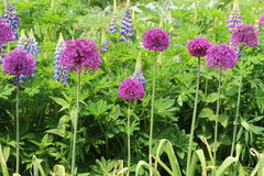 Allium and Lupin garden border. A pretty garden border planted with cerise Allium and multi coloured Lupin Royalty Free Stock Images