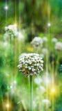 Allium mágico foto de stock royalty free