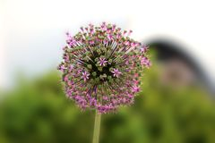 Allium macleanii Stock Photos