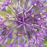 Allium - Macro photo Royalty Free Stock Photos