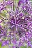 Allium - Macro photo Stock Image