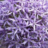 Allium - macro photo Royalty Free Stock Photography