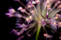 Allium Makro- strzał zdjęcia royalty free