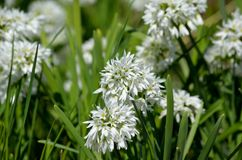 Allium narcissiflorum white wild onion native to southern france and north-west italy Stock Image