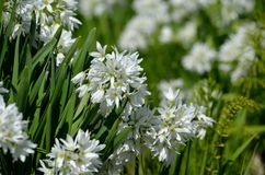 Allium narcissiflorum white wild onion native to southern france and north-west italy in summer Stock Images