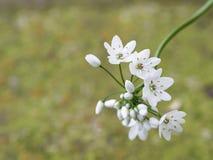 Allium neapolitanum Immagini Stock Libere da Diritti