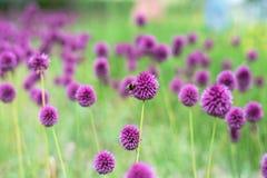 Allium nel giardinaggio Immagini Stock