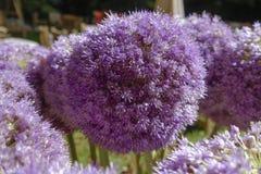 Allium nigrum. Flower of a decorative onion Allium nigrum in a garden, Bavaria, Germany, Europe Stock Images