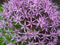 Allium o cipolla porpora in fioritura Fotografie Stock Libere da Diritti