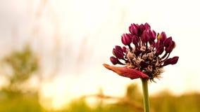 Allium oleraceum stock video