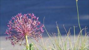 Allium onion flower stock footage