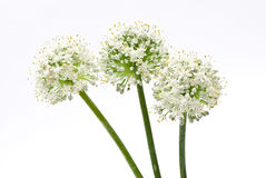 Allium onion flowers royalty free stock photos