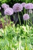 Allium onion flowers Stock Photo