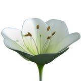 Allium Stock Photography