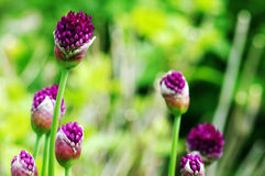 Allium Royalty Free Stock Photo