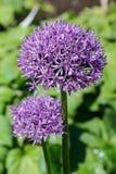 Allium Ornamentacyjna cebula zdjęcia stock