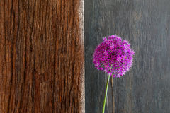 Allium Ornamental Onion Violet Showy Flower Head Driftwood Royalty Free Stock Image