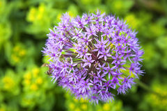 Allium ornamentale Fotografia Stock