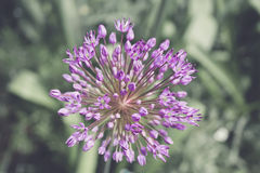 Allium ornamentale Immagine Stock