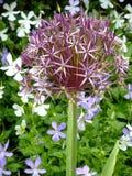 Allium ornamentale Fotografia Stock Libera da Diritti