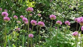 Allium ornamentale della cipolla, palle porpora del fiore Immagini Stock Libere da Diritti