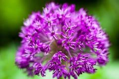 Allium ornamentale di fioritura della cipolla Fotografia Stock Libera da Diritti