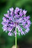 Allium ornamentale porpora di fioritura della cipolla al giardino vago del fondo Fotografia Stock Libera da Diritti