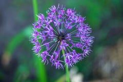 Allium ornamentale porpora di fioritura della cipolla al giardino vago del fondo Fotografie Stock