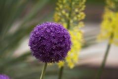 Allium púrpura Foto de archivo
