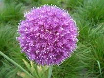 Allium púrpura floreciente en el campo de hierba verde imagen de archivo