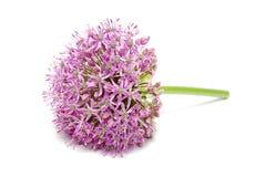 Allium púrpura floreciente, flor de la cebolla aislada en un blanco Fotografía de archivo