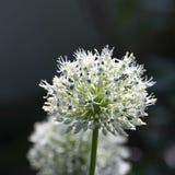 Allium, palla bianca dell'allium, luce solare, macro Immagini Stock Libere da Diritti