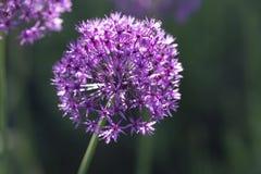 Allium, palla ultravioletta dell'allium, luce solare Fotografia Stock