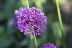 Allium, palla ultravioletta dell'allium, uguagliante luce Immagine Stock