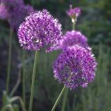 Allium, palle ultraviolette dell'allium, luce solare Fotografia Stock