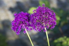 Allium, palle ultraviolette dell'allium, luce solare Immagini Stock Libere da Diritti