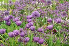 Allium porpora Fotografia Stock Libera da Diritti