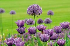 Allium porpora Immagini Stock