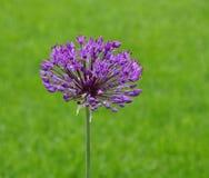 Allium porpora Fotografia Stock