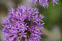 Allium porpora con i petali interni della mosca Immagini Stock Libere da Diritti