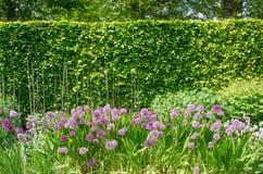 Allium porpora in confine inglese con la barriera Immagine Stock